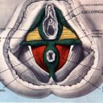 anatomia-femenina